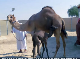 Billionaire Sheikh Mohammed breeds a camel through IVF
