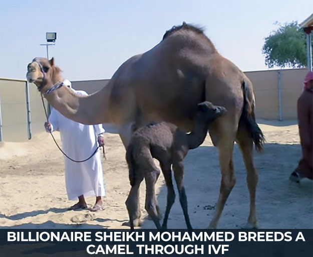 Billionaire Sheikh Mohammed breeds a camel through IVF